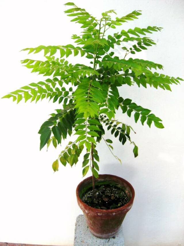 Taj Agro Curry leaf tree