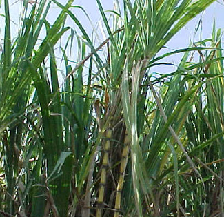 sugercane